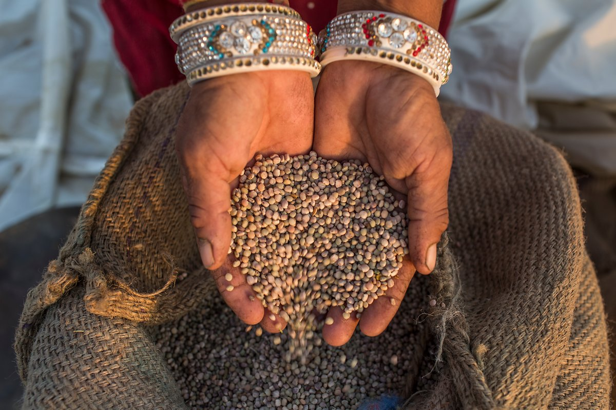 Guar farmer bags the guar beans