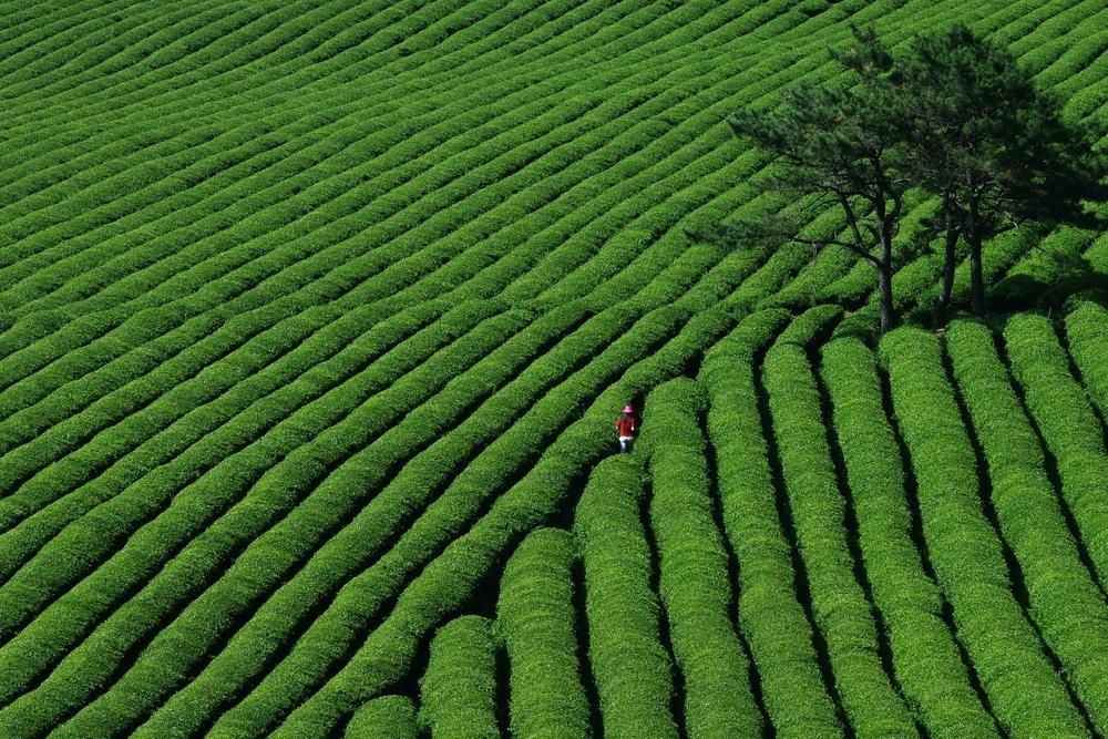 green-tea-crop