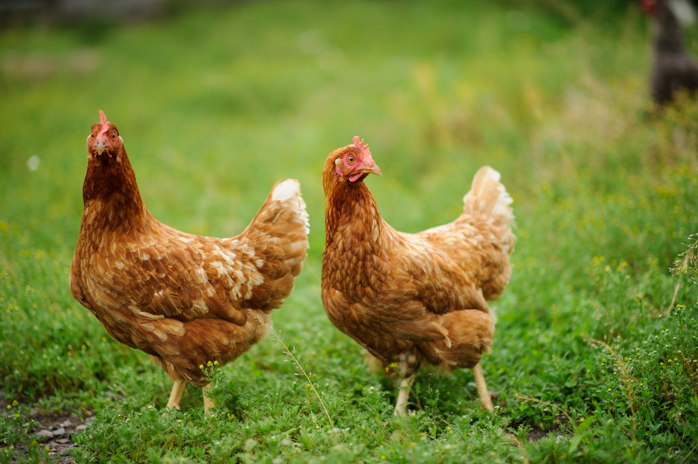 two-hens-on-the-green-grass