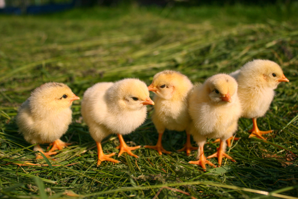 four-yellow-chicks-on-grass