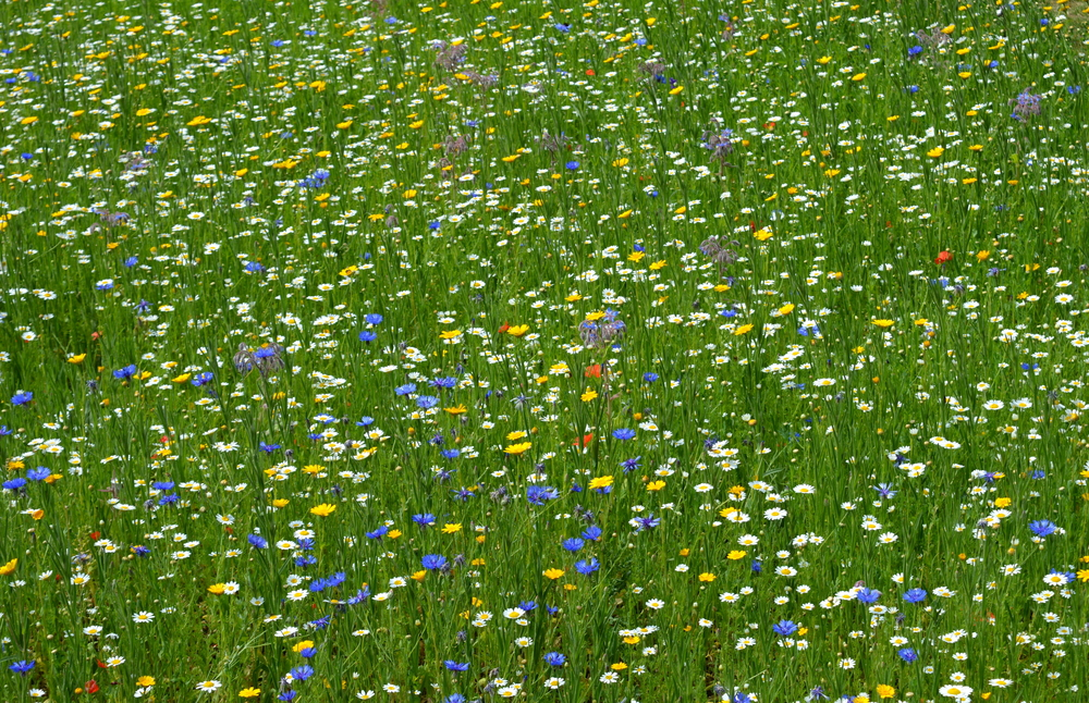 meadow-with-flowers